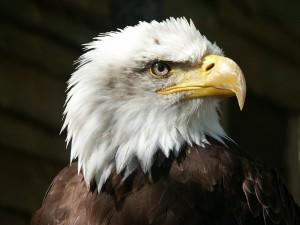 bald-eagle-550804_1280