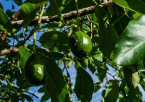 avocado-369628_1280