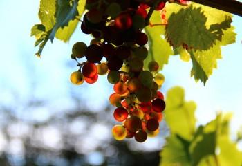 grapes-276072_1280