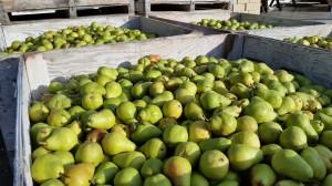 pears-482635_1280