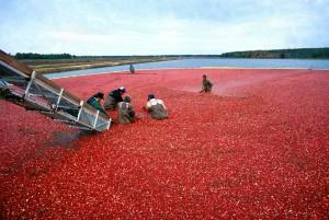 cranberry-387284_1280
