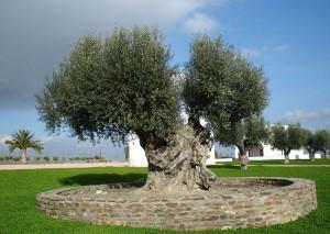 Оливковое дерево, Португалия