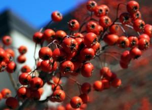 rowan-berries-231584_1280
