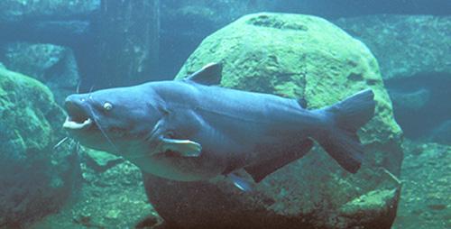 Ictalurus furcatus, Blue Catfish