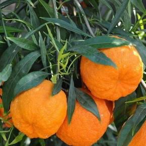 Померанец-горький-апельсин-290x290