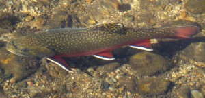 Rocky_Mountain_National_Park_in_September_2011_-_Sprague_Lake_-_Brook_Trout