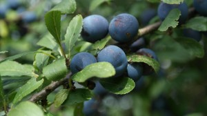 sloes-427420_1280