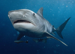 tiger-shark-glutton