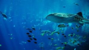 whale-shark-281498_640