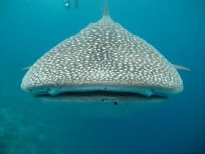 whale-shark-363623_640