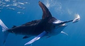 фото-рыбы-этот-неловкий-момент-рыба-меч-596563