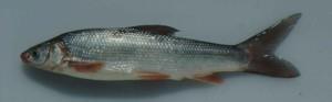Sacramento_splittail_fish