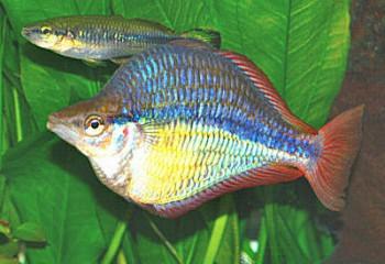 BandedRainbowfishWFRa_C1437