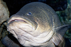Murray_cod_melb_aquarium