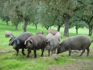 Иберийские, черные свиньи