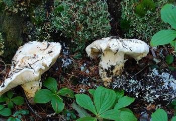 грибы-матсутаке