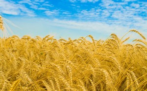 ws_Golden_wheat_2560x1600