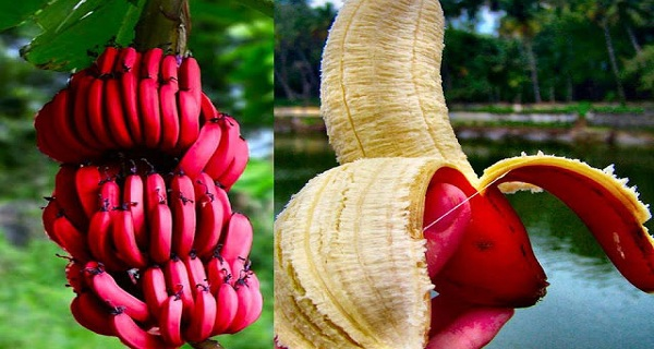 Red-Banana-–-The-Special-Fruit