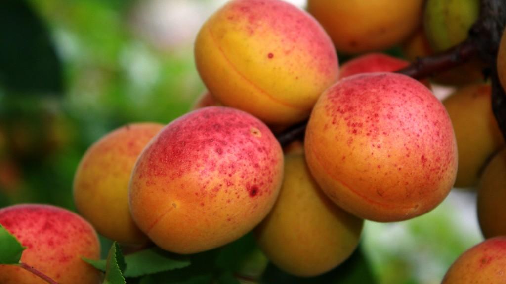 abrikosy-na-vetke