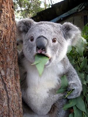koala-71